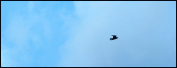 A bird soars over Victoria Glen Park.  If even part of this habitat is destroyed, the ecosystem  will at best be seriously damaged.