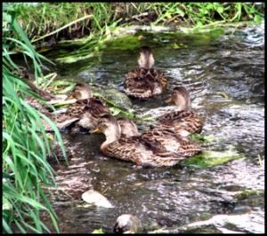 ducks_1066