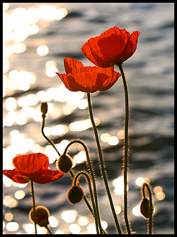 Poppies in the Sunset on Lake Geneva.jpg  Poppies in the Sunset on Lake Geneva.