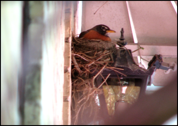 Mamma Robin sits the nest.