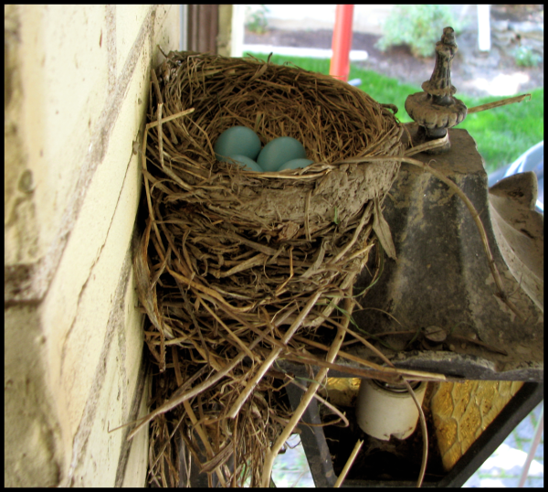 Four robins eggs nestle in the nest above the porch light.
