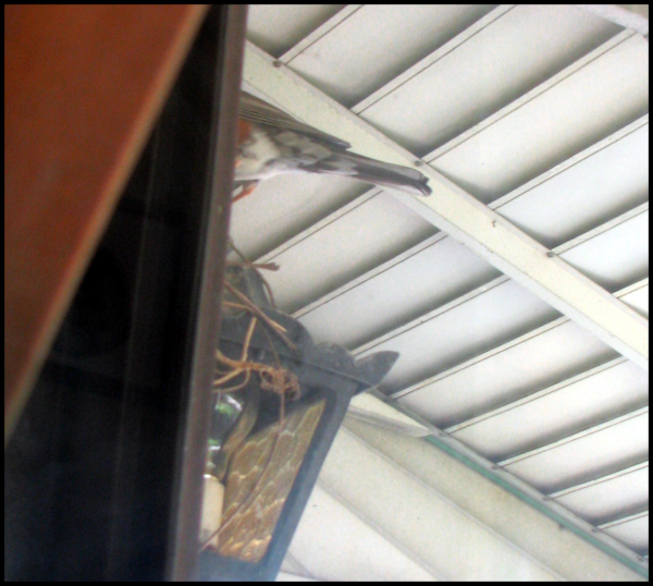 As seen through the front door, the posterior of the robin perched on the nest tending the eggs