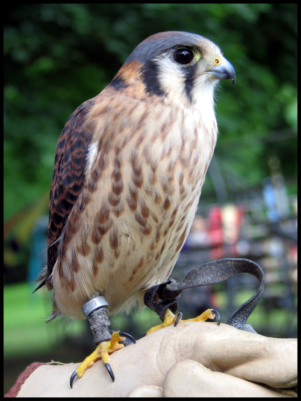 Tiny American Kestrel perched on handler's glove