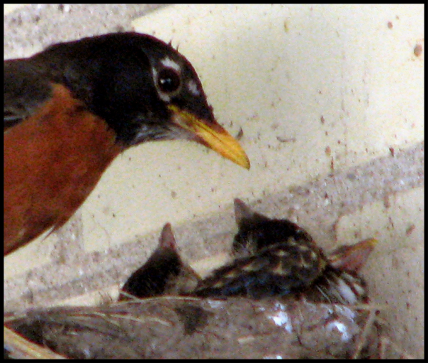 Mamma Robin and Chicks