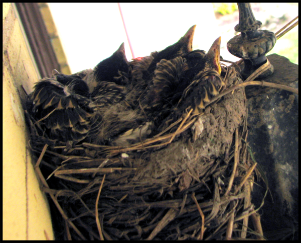 Robin chicks in the Nest