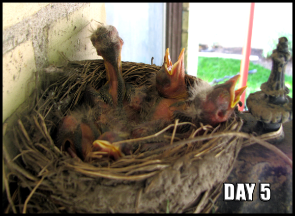 Four nestlings start to look a bit more like birds