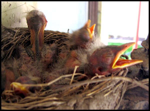 4 robin chicks in the nest