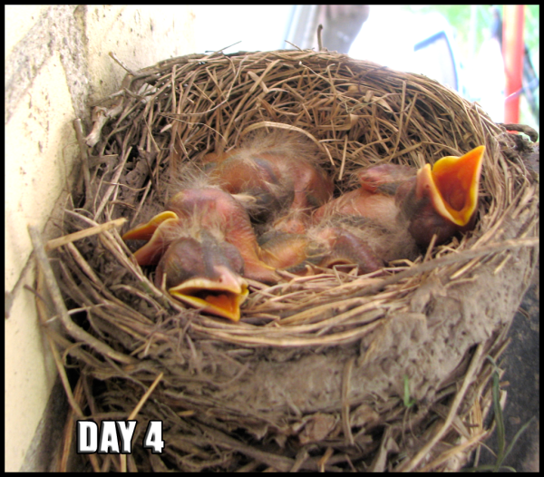 Four robin chicks in the nest