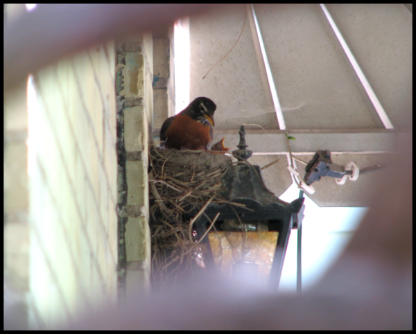 Mamma robin sits in the nest for feeding.