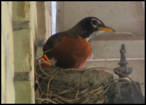 One chick pokes his head out of the nest where Mamma Robin sits