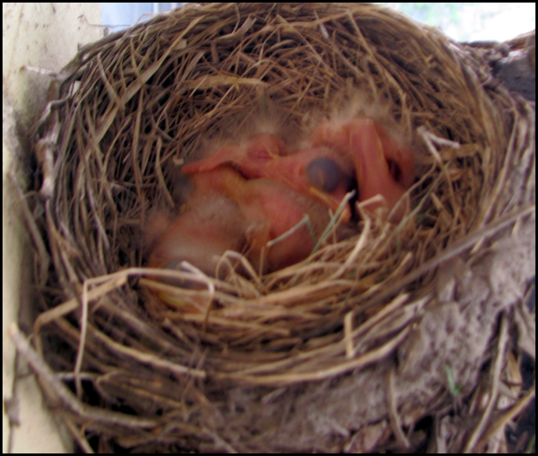 a nestful of bald baby birds