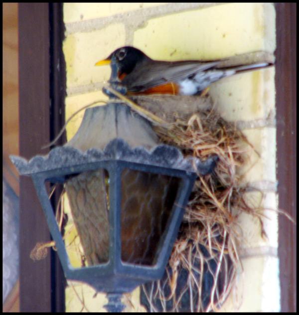 Mamma Robin on the nest
