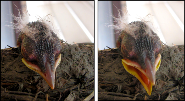 chick's head dangles over the side, second picture shows beak starting to open