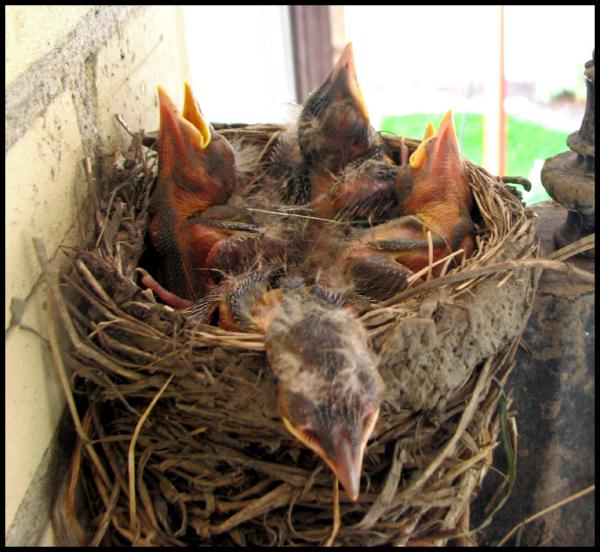 four robins sprawl in the nest