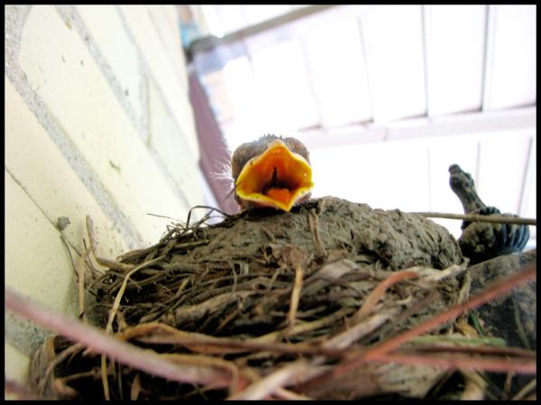beak open wide
