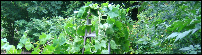 Grape vines clime the old wooden ladder