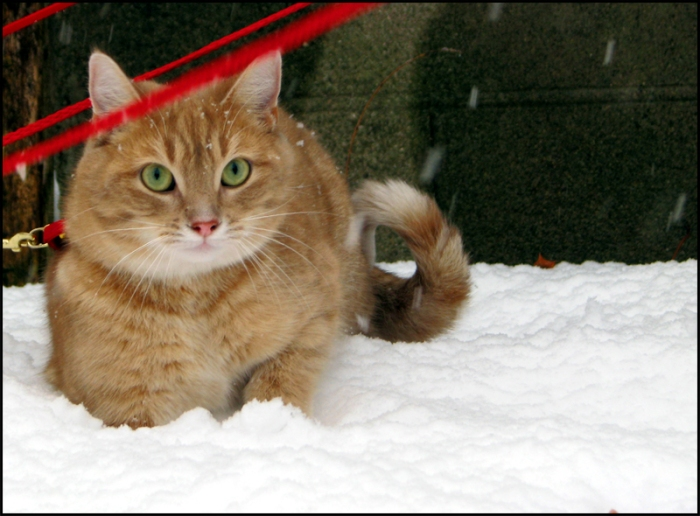 Ginger cat sits in the snow looking at camera