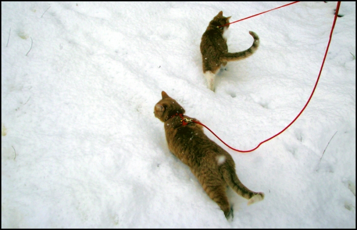 Two leashed & harnessed ginger cats discover snow