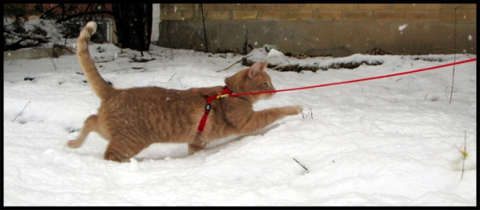 Ginger cat (Murray) wades through snow