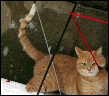 ginger cat's leash is wound around