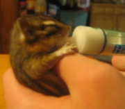 a tiny chipmunk with eyes closed is held in child's hand while feeding from medicine syringe