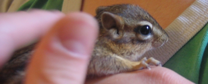 chipmunk with eyes open, held in child's hand