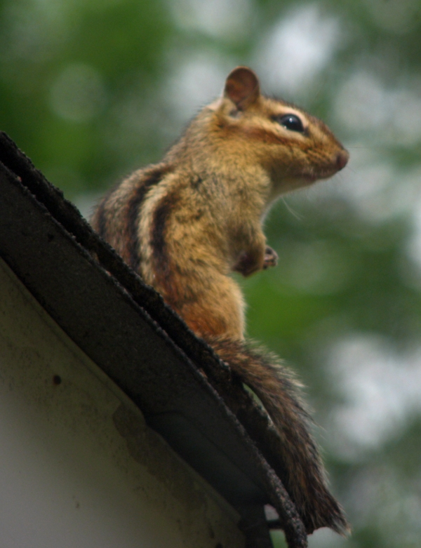 Chipmunk on the rooftop
