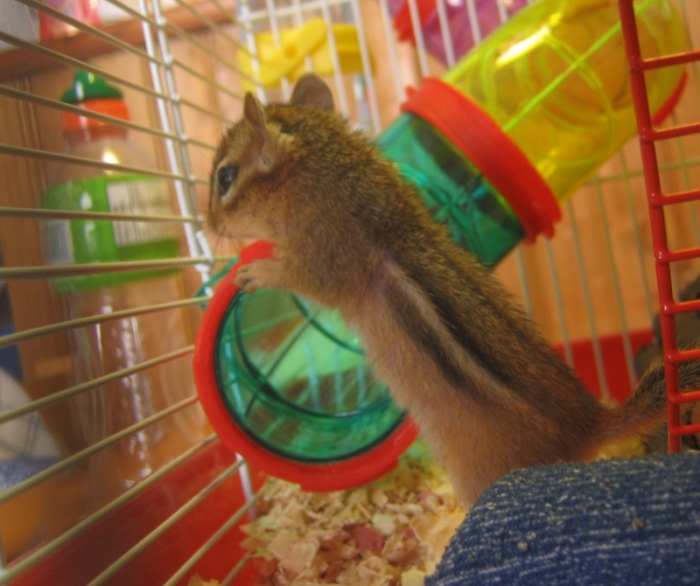 Chipmunk in cage about to enter clear plastic climbing tube
